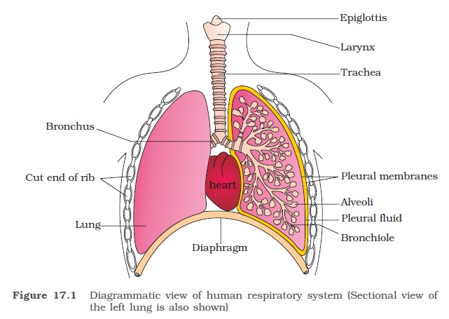 Ncert class xi biology chapter 17 breathing and exchange of gases we have two lungs which are covered by a double layered pleura with pleural fluid between them it reduces friction on the lungsurface ccuart Choice Image