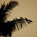 House crows on a palm tree at dusk
