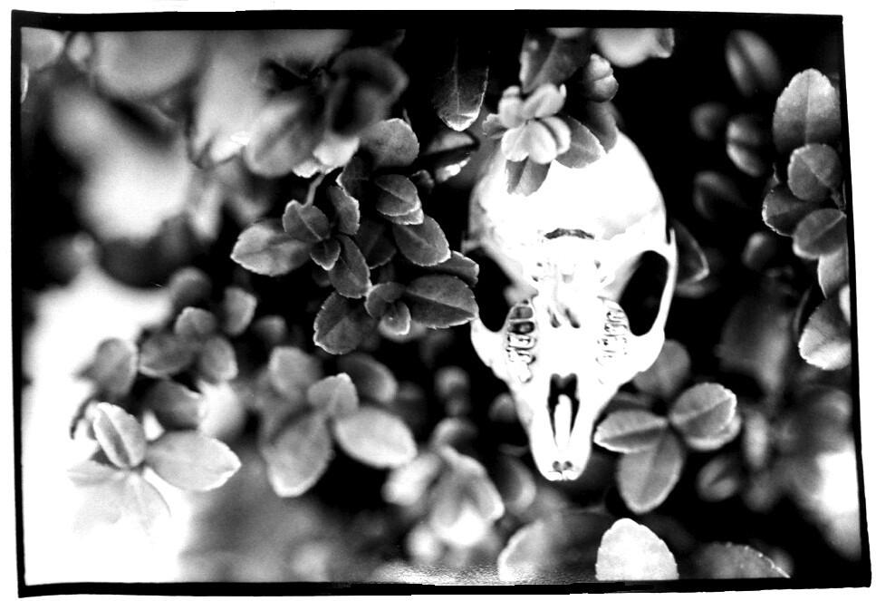 Rodent Skull Leaves