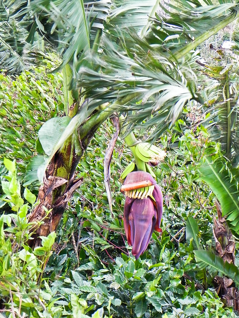 Banana blossom by the roadside in Viet Nam