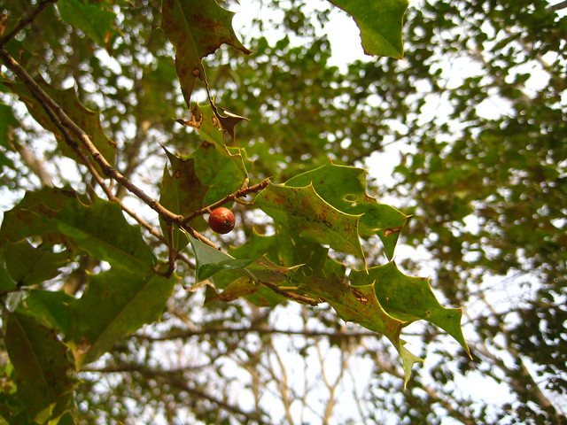 wild holly trees