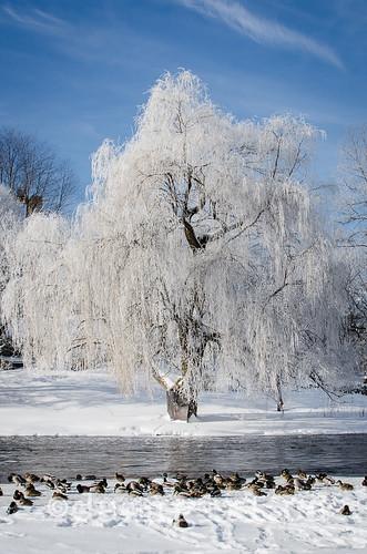 Ice tree-4