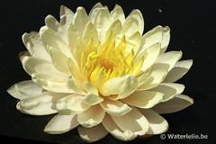 Waterlelie Mangkala Ubol