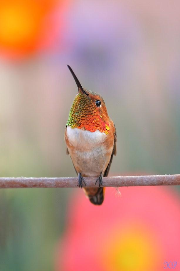 Allen's Hummingbird 021413-4