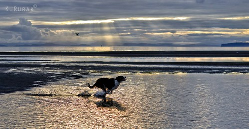 Buddy chasing seagulls in White Rock