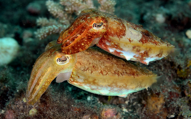 067_adj_DSC_2653 two little cuttlefish