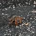 Semi-terrestrial hermit crab Coenobita compressus