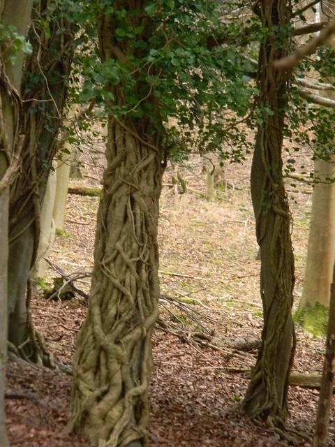 Ivy on trees