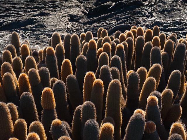 Galapagos Plants: Lava Cacti