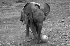 Young elephant playing with ball