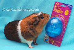 Guinea pig Truffle with treat dispenser toy
