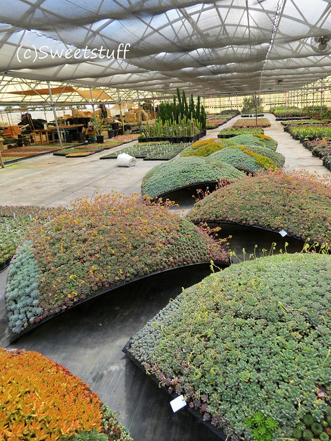 Eight sections of Succulent Globe