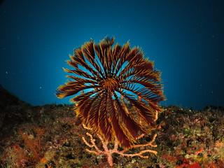 crinoid corona