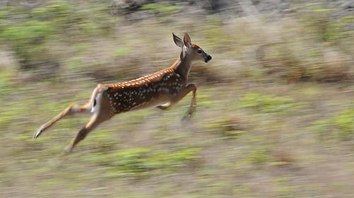[フリー画像素材] 動物 (哺乳類), 鹿・シカ, 動物 - 走る ID:201303120400