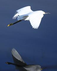 european herring gull(0.0), great egret(0.0), gannet(0.0), gull(0.0), animal(1.0), wing(1.0), heron(1.0), beak(1.0), bird(1.0), flight(1.0), seabird(1.0), egret(1.0),