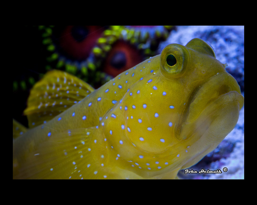 Yellow Watchman Goby Aggressive Yellow Watchman Goby by