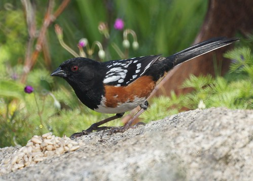 Spotted Towhee by Mike's Birds
