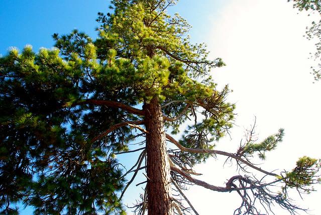 lake tahoe california pine
