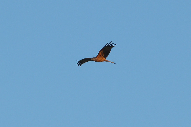 29400 - Red Kite, Gopa Hill