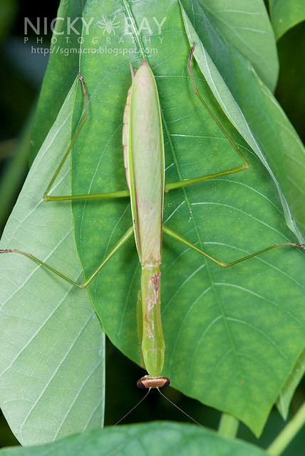 Praying Mantis (Mantodea) - DSC_8562
