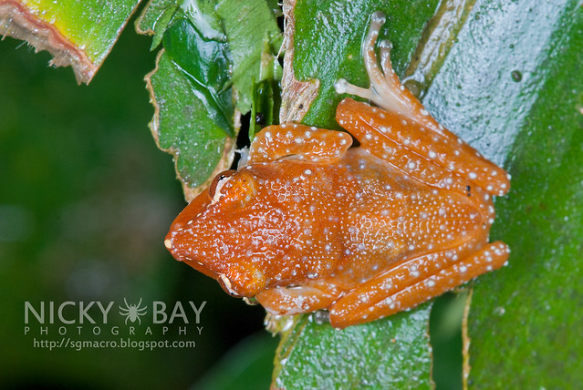 Spotted Tree Frog (Nyctixalus pictus) - DSC_0553