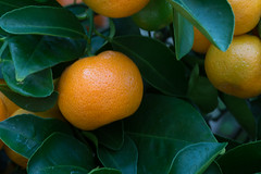 clementine, calamondin, citrus, orange, valencia orange, meyer lemon, yuzu, produce, fruit, food, bitter orange, citron, tangerine, mandarin orange,