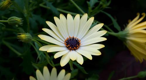 Osteospermum cv Buttermilk LG 3-27-13 6030 lo-res