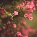 Sweet azalea by Tammy Schild