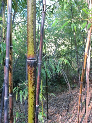 Hakone Japanese Gardens, Saratoga, CA, bamboo IMG_2334