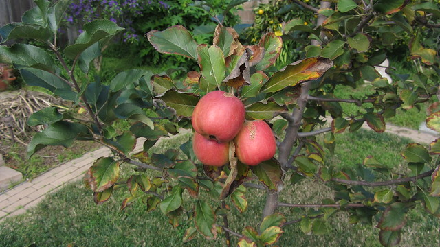 IMG_5120 dorset golden apples goleta december