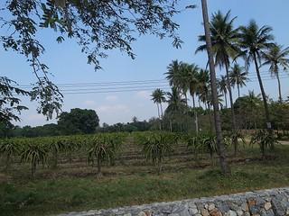 パイナップル畑?