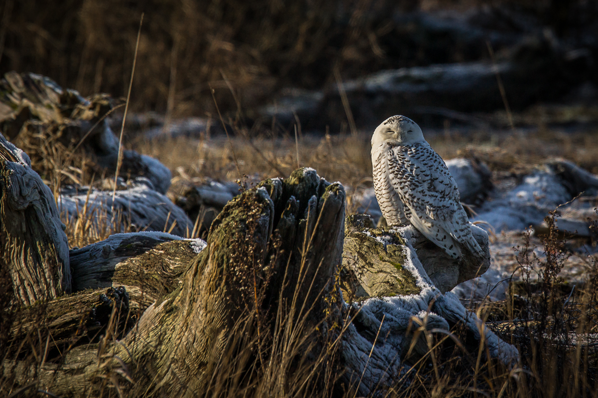 Snowy and Short Eared Owls...and Harriers too.