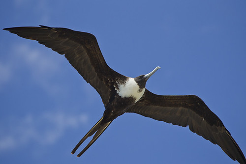 Soaring Magnificent Frigate Bird
