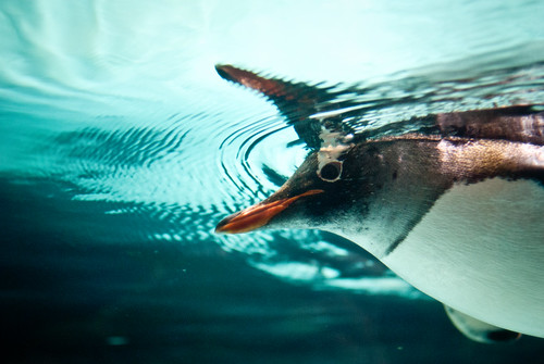 Gentoo Penguin by 'Vespertine'