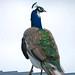 Blaenfforest Pied Peacock