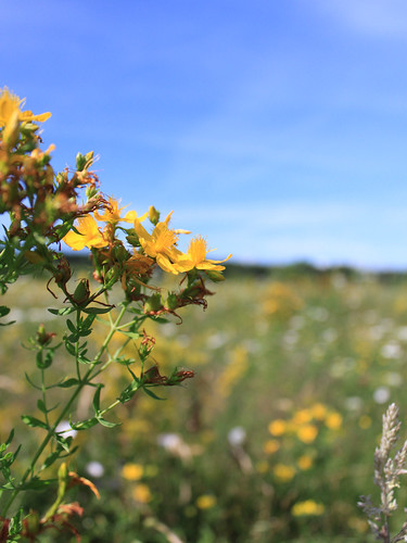 Blue-Sky-and-St-Johns-Wort_Yellow-Flowers__IMG_3644