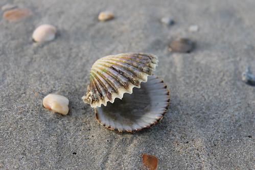 Ocracoke Island shelling. Intact.