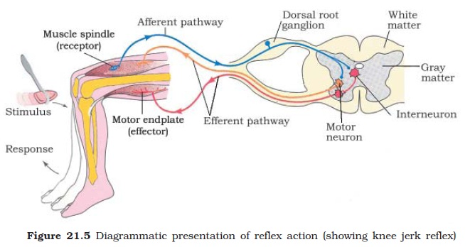 Ncert class xi biology chapter 21 neural control and coordination effector the stimulus and response thus forms a reflex arc as shown below in the knee jerk reflex you should carefully study figure 215 to understand ccuart Images