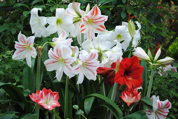 Beautiful Amaryllis Bunch