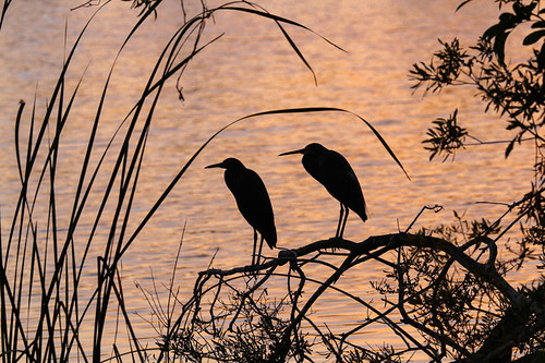 sunset two bird heron silhouette florida pair fav10 fav25 andromeda50 dpssilhouette