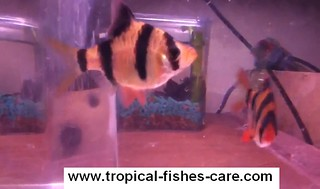 female male tiger barb fish
