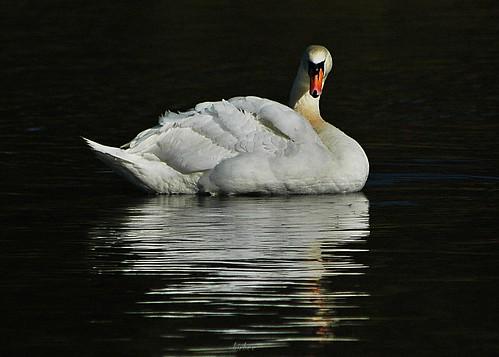Swan 1 by birbee