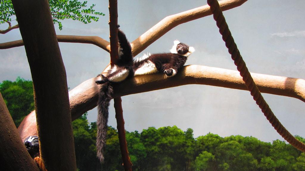 Meditating Lemur