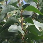 Acacia koa flowers in leaf axil