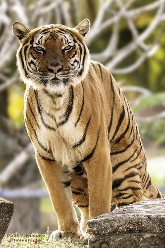 zoo florida miami tiger metrozoo miamimetrozoo berani zoomiami