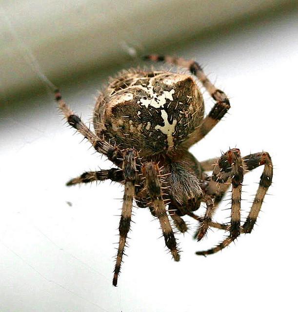 N Spiders Barn Spider   Flickr -...