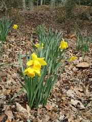 daffodils in the woods by Teckelcar