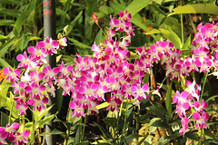 spray orchids