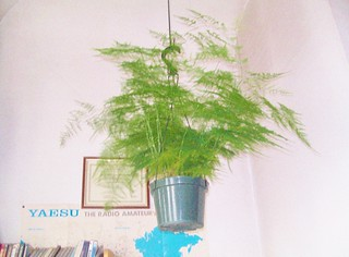 Asparagus Fern 2
