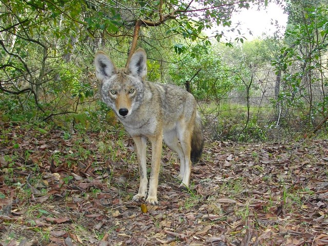 female coyote4